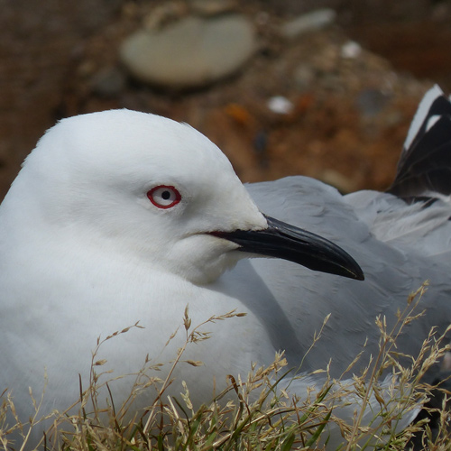 Black-billed gull research