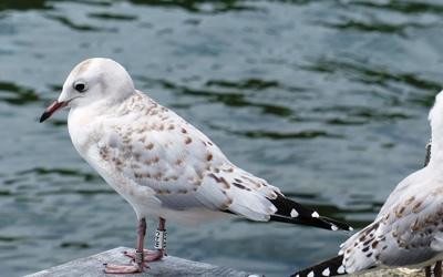 Black-billed gull research 1