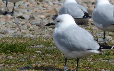 Black-billed gull research 3