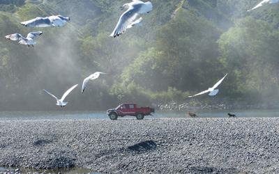 Black-billed gull research 4