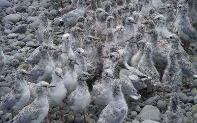 Black-billed gull research 6