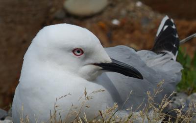 Black-billed gull research 8